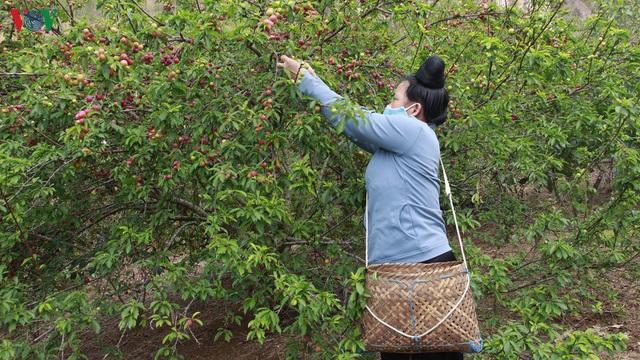 Mận chín đỏ cây không có người mua, nông dân lo đói! - Ảnh 1.
