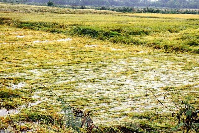 Nông dân Huế bất lực nhìn hàng nghìn hecta lúa chín chìm trong nước - Ảnh 1.