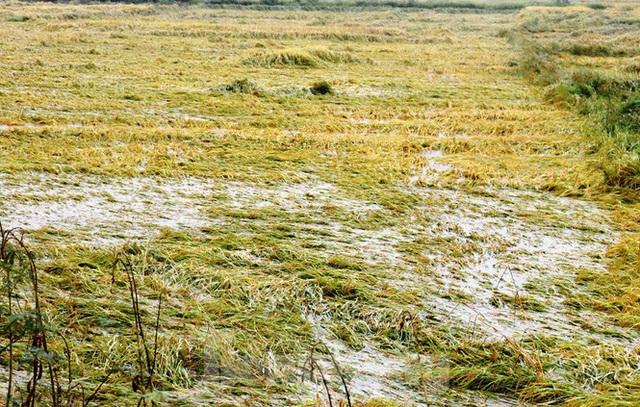 Nông dân Huế bất lực nhìn hàng nghìn hecta lúa chín chìm trong nước - Ảnh 2.
