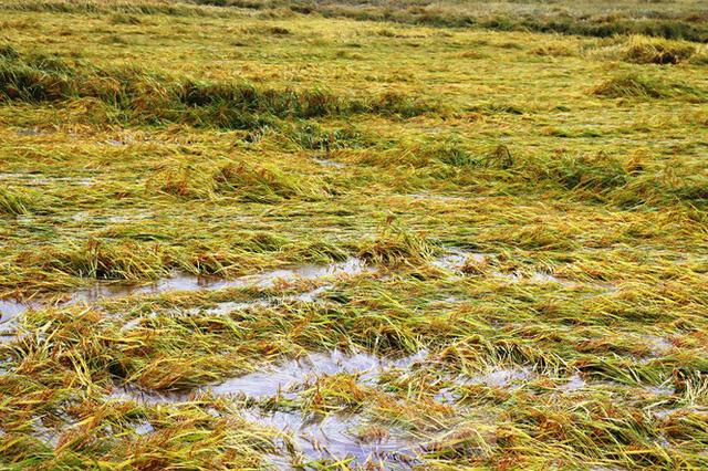 Nông dân Huế bất lực nhìn hàng nghìn hecta lúa chín chìm trong nước - Ảnh 3.
