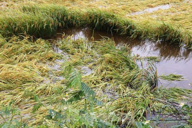 Nông dân Huế bất lực nhìn hàng nghìn hecta lúa chín chìm trong nước - Ảnh 4.