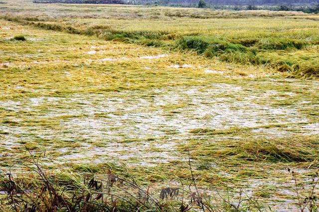 Nông dân Huế bất lực nhìn hàng nghìn hecta lúa chín chìm trong nước - Ảnh 5.