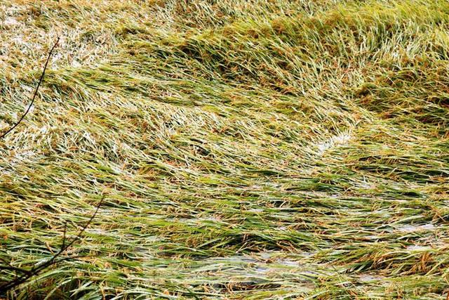 Nông dân Huế bất lực nhìn hàng nghìn hecta lúa chín chìm trong nước - Ảnh 6.