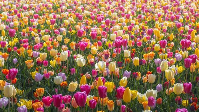 Thiên đường hoa đẹp nhất thế giới không bóng người vì dịch Covid-19 - Ảnh 1.