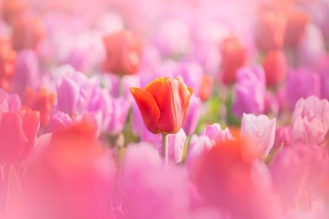 Thiên đường hoa đẹp nhất thế giới không bóng người vì dịch Covid-19 - Ảnh 2.