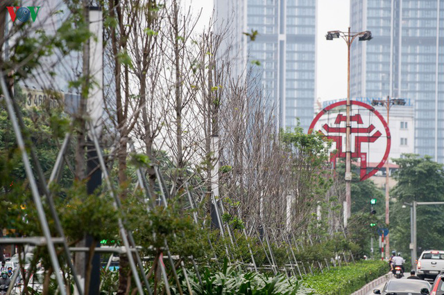 Hàng cây phong lá đỏ trơ trụi, thiếu sức sống giữa nắng hè Hà Nội - Ảnh 2.