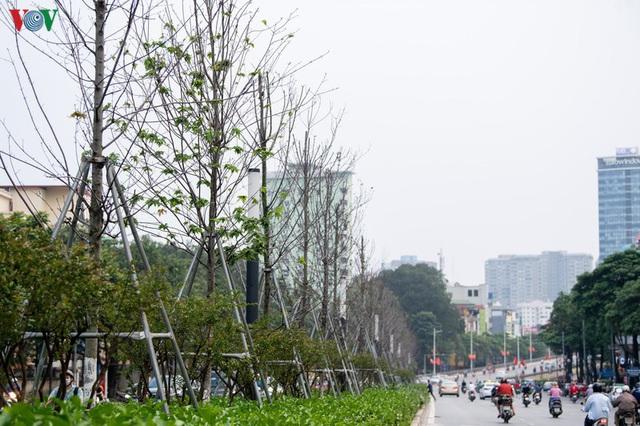 Hàng cây phong lá đỏ trơ trụi, thiếu sức sống giữa nắng hè Hà Nội - Ảnh 7.