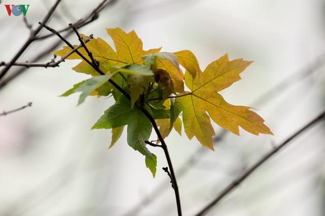Hàng cây phong lá đỏ trơ trụi, thiếu sức sống giữa nắng hè Hà Nội - Ảnh 9.
