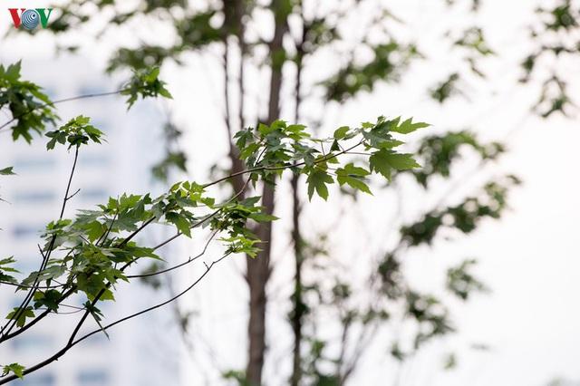 Hàng cây phong lá đỏ trơ trụi, thiếu sức sống giữa nắng hè Hà Nội - Ảnh 10.