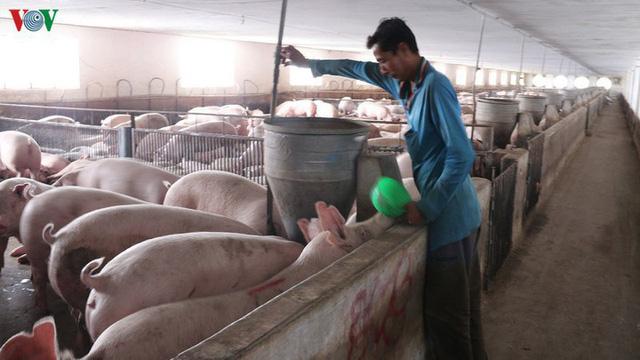 Bộ Nông nghiệp: Tiếp tục nhập khẩu lợn giống để phục vụ tái đàn - Ảnh 1.