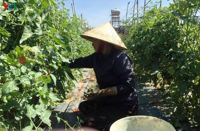 Lâm Đồng rau, hoa tăng giá trở lại nhà vườn phấn khởi - Ảnh 2.