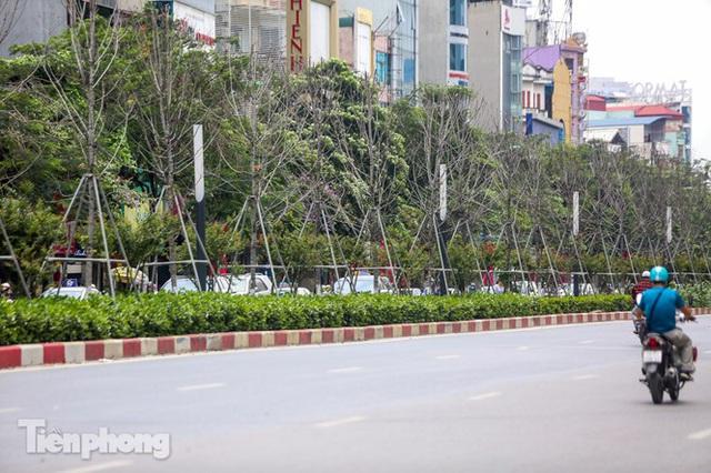 Đầu hè, hàng phong lá đỏ ở phố Hà Nội giờ ra sao? - Ảnh 2.