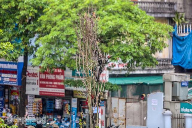 Đầu hè, hàng phong lá đỏ ở phố Hà Nội giờ ra sao? - Ảnh 3.
