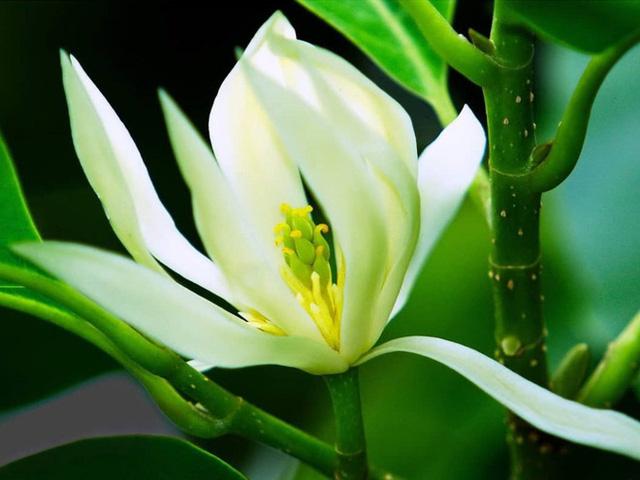 Trồng một cây hoa ngọc lan: Thơm - ngon - đẹp - Thật xứng danh là một kho báu trong vườn - Ảnh 1.