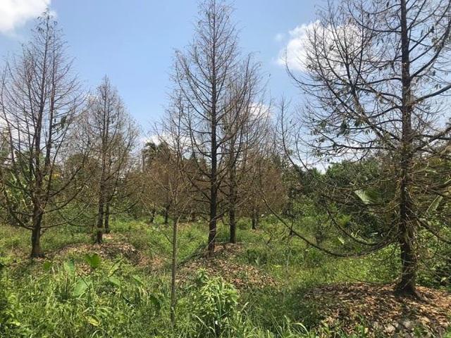 Sầu riêng mất chất lượng do hạn mặn, nhiều nhà vườn ở miền Tây lao đao - Ảnh 1.