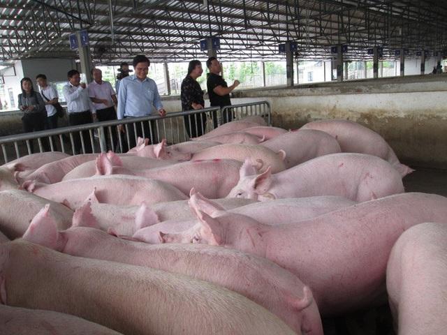 Một số công ty chăn nuôi phá cam kết giá heo hơi 70.000 đồng/kg  - Ảnh 1.