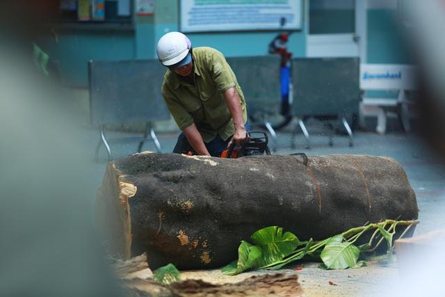 Cận cảnh gốc phượng vĩ mục ruỗng đổ gãy đè 13 học sinh thương vong ở Sài Gòn - Ảnh 4.