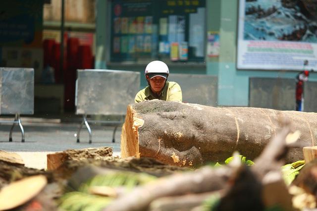 Cận cảnh gốc phượng vĩ mục ruỗng đổ gãy đè 13 học sinh thương vong ở Sài Gòn - Ảnh 5.