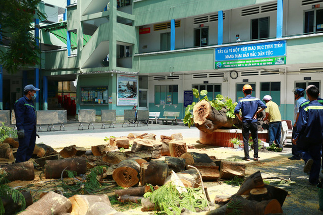 Cận cảnh gốc phượng vĩ mục ruỗng đổ gãy đè 13 học sinh thương vong ở Sài Gòn - Ảnh 6.
