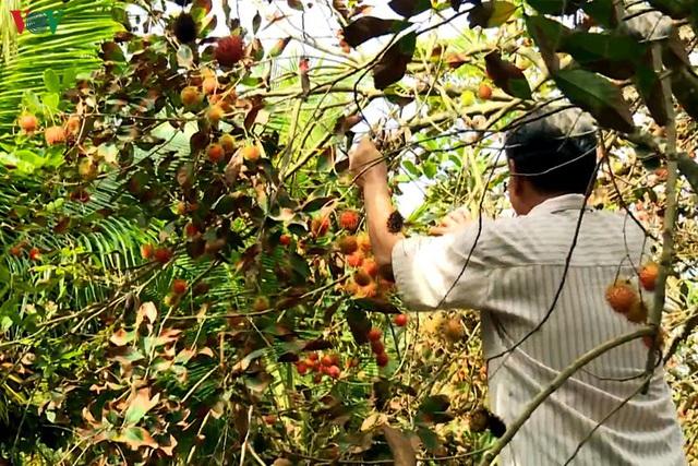 Nhà vườn trồng chôm chôm ở Trà Vinh thiệt hại kép do hạn mặn - Ảnh 1.