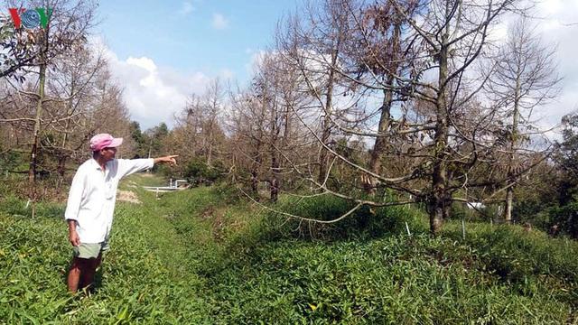 Nhà vườn xót xa khi thành quả lao động bị tiêu tan vì hạn mặn - Ảnh 1.