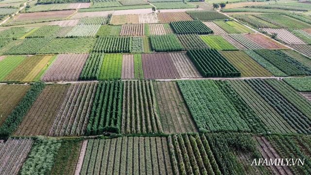 Flycam: Trên cánh đồng rau bạc trắng, người nông dân khóc ròng vì mất trắng vụ thu hoạch do sâu tơ phá hoại - Ảnh 1.