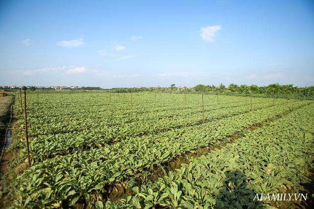 Flycam: Trên cánh đồng rau bạc trắng, người nông dân khóc ròng vì mất trắng vụ thu hoạch do sâu tơ phá hoại - Ảnh 2.