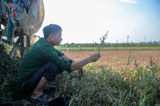 Flycam: Trên cánh đồng rau bạc trắng, người nông dân khóc ròng vì mất trắng vụ thu hoạch do sâu tơ phá hoại - Ảnh 11.