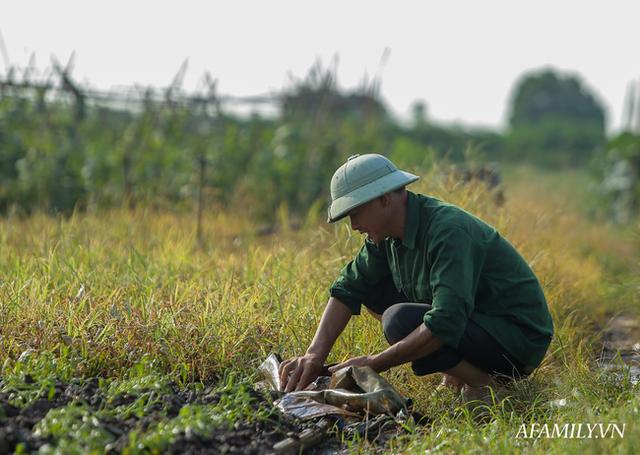 Flycam: Trên cánh đồng rau bạc trắng, người nông dân khóc ròng vì mất trắng vụ thu hoạch do sâu tơ phá hoại - Ảnh 12.