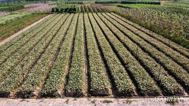 Flycam: Trên cánh đồng rau bạc trắng, người nông dân khóc ròng vì mất trắng vụ thu hoạch do sâu tơ phá hoại - Ảnh 3.