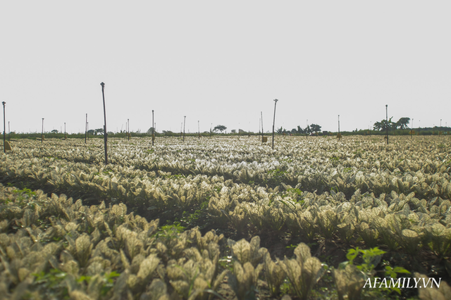 Flycam: Trên cánh đồng rau bạc trắng, người nông dân khóc ròng vì mất trắng vụ thu hoạch do sâu tơ phá hoại - Ảnh 4.