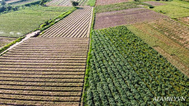 Flycam: Trên cánh đồng rau bạc trắng, người nông dân khóc ròng vì mất trắng vụ thu hoạch do sâu tơ phá hoại - Ảnh 5.