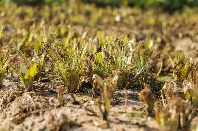 Flycam: Trên cánh đồng rau bạc trắng, người nông dân khóc ròng vì mất trắng vụ thu hoạch do sâu tơ phá hoại - Ảnh 6.