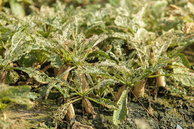Flycam: Trên cánh đồng rau bạc trắng, người nông dân khóc ròng vì mất trắng vụ thu hoạch do sâu tơ phá hoại - Ảnh 8.