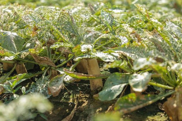 Flycam: Trên cánh đồng rau bạc trắng, người nông dân khóc ròng vì mất trắng vụ thu hoạch do sâu tơ phá hoại - Ảnh 9.