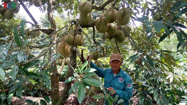 Đắk Lắk: Đa canh cây trồng trong vườn cà phê thích ứng với biến đổi khí hậu - Ảnh 1.