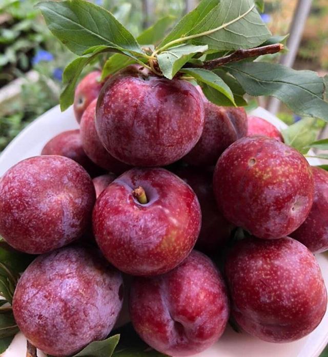 Mận đồi Pu Nhi ngọt như cherry, giá đắt ngang nho Mỹ vẫn cháy hàng - Ảnh 2.