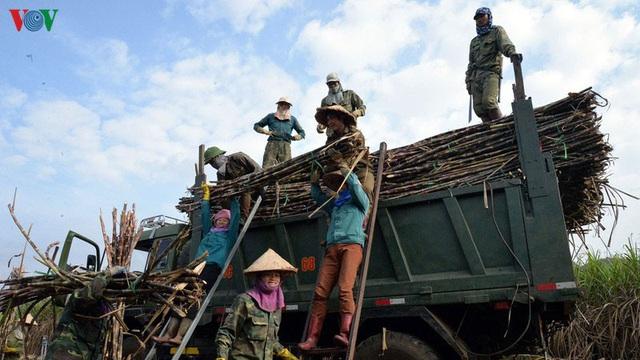 Người trồng mía Sơn La được đảm bảo thu nhập - Ảnh 1.