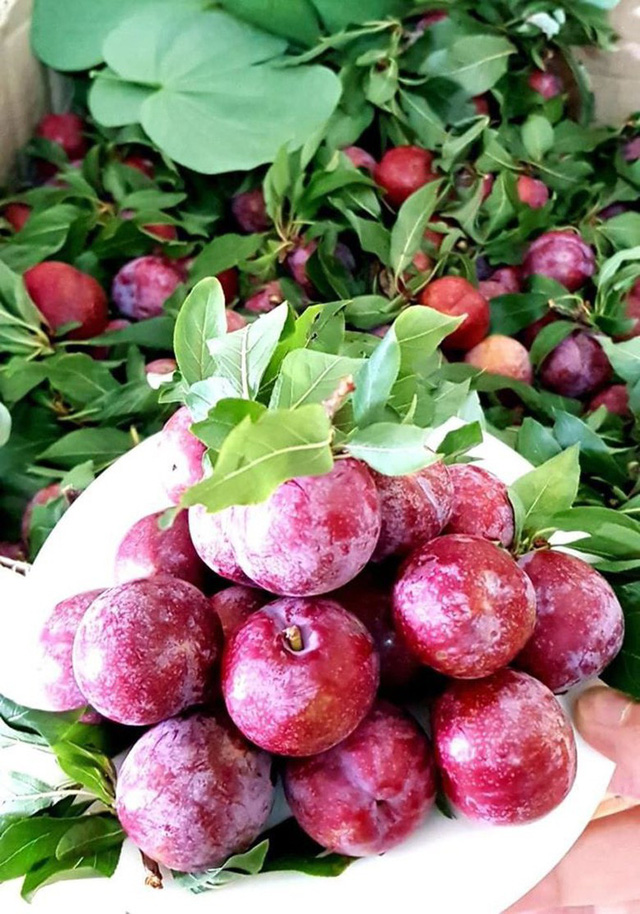 Mận đồi Pu Nhi ngọt như cherry, giá đắt ngang nho Mỹ vẫn cháy hàng - Ảnh 6.