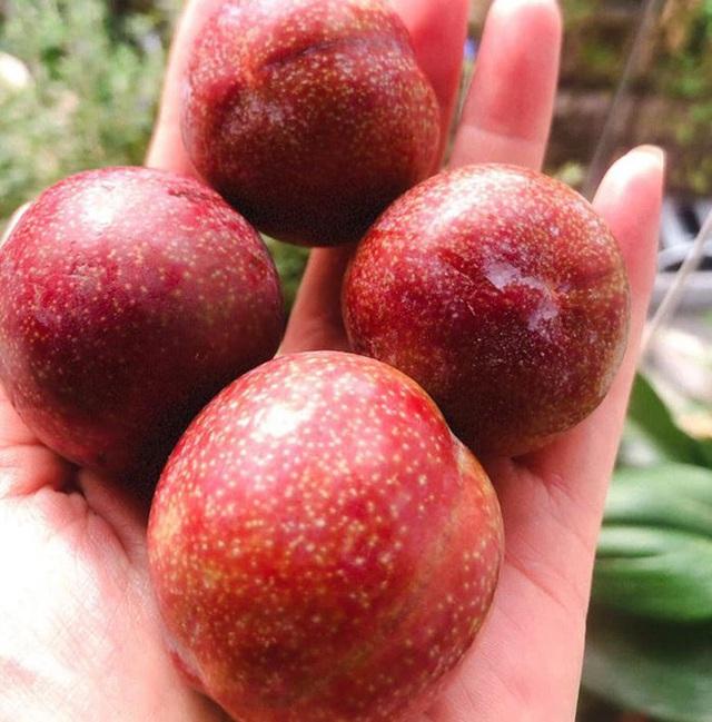 Mận đồi Pu Nhi ngọt như cherry, giá đắt ngang nho Mỹ vẫn cháy hàng - Ảnh 9.