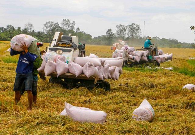 Giá lúa tại ĐBSCL tăng sau khi xuất khẩu gạo bình thường trở lại - Ảnh 1.