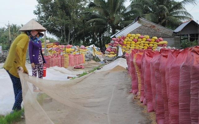 Giá lúa tại ĐBSCL tăng sau khi xuất khẩu gạo bình thường trở lại - Ảnh 2.