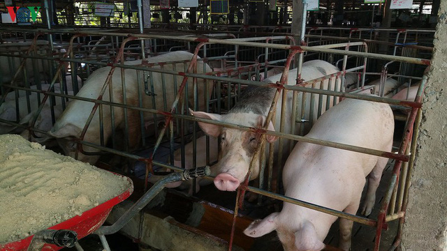 Giá lợn tăng, lợn giống khan hiếm nông dân khó tái đàn - Ảnh 1.