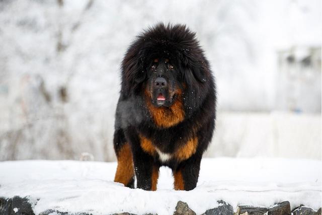 Câu chuyện buồn về cơn sốt chó ngao Tây Tạng: Từ thần khuyển chục tỷ đồng đến bầy chó hoang hàng vạn con bị ruồng bỏ - Ảnh 3.