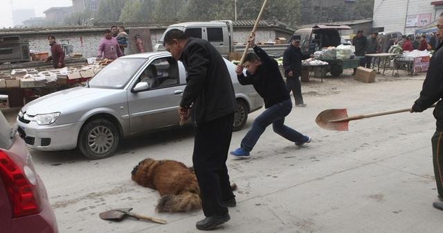 Câu chuyện buồn về cơn sốt chó ngao Tây Tạng: Từ thần khuyển chục tỷ đồng đến bầy chó hoang hàng vạn con bị ruồng bỏ - Ảnh 6.