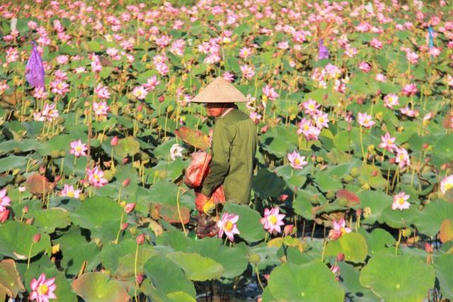 Biến đồng hoang thành đầm sen, nông dân thu hàng chục triệu mỗi vụ - Ảnh 2.