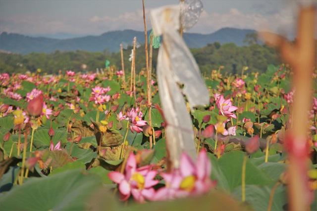 Biến đồng hoang thành đầm sen, nông dân thu hàng chục triệu mỗi vụ - Ảnh 11.