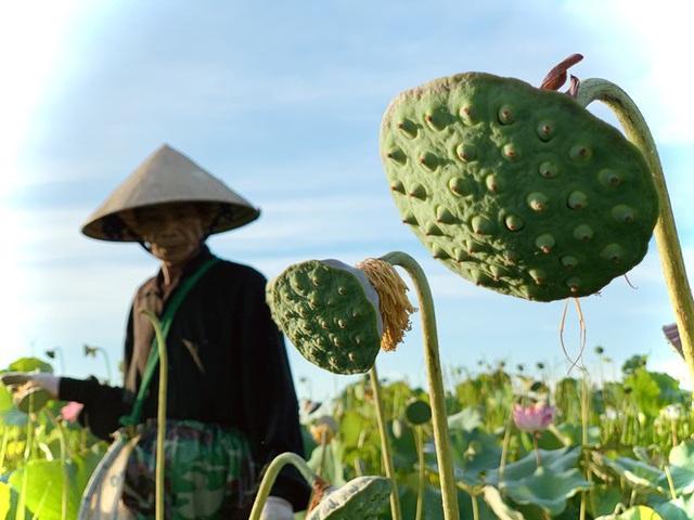 Biến đồng hoang thành đầm sen, nông dân thu hàng chục triệu mỗi vụ - Ảnh 8.