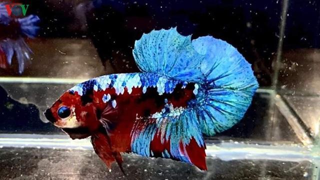 Kiếm tiền triệu mỗi tháng từ thú chơi cá ngoại giá rẻ - Ảnh 4.