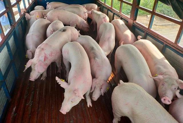 Lợn sống nhập khẩu từ Thái Lan về Việt Nam: Từng bước hiện thực hóa việc bình ổn giá lợn trên thị trường - Ảnh 1.